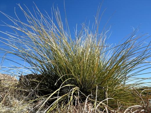 Mesa Grass