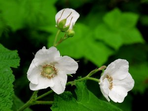 More Thimbleberry