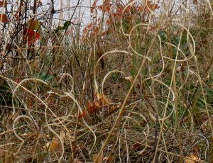 Curly Dried Grass